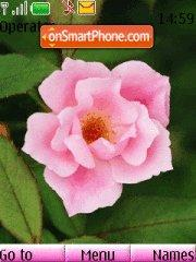 Pink rose es el tema de pantalla