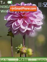 Flowers dahlias tema screenshot